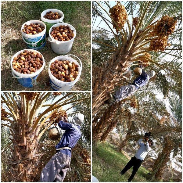 آغاز برداشت محصول شیرین خرما از نخلستانهای شهرستان نهبندان