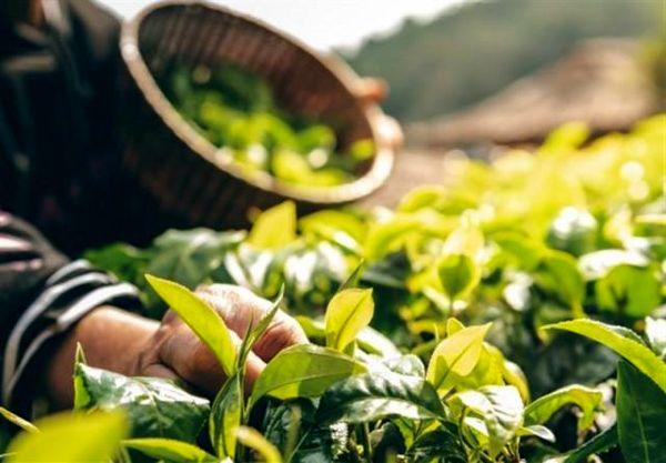 افزایش سطح زیر کشت گیاهان دارویی در چهارمحال و بختیاری