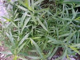 برداشت گیاه ترخون در سطح 88 هکتار از مزارع بخشهای گلباف و راین شهرستان کرمان