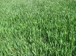 افزایش 50 درصدی ،قمت خرید گندم در سال زراعی جاری نسبت به سال گذشته