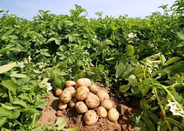 کاهش سطح زیر کشت سیبزمینی در شهرستان شهرکرد