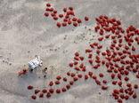 برداشت فلفلقرمز در چین
