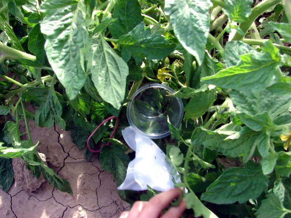 مبارزه بیولوژیک با آفات در مزارع خوزستان