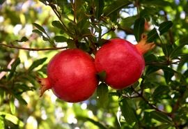 رشد 10درصدی تولید انار در چهارمحال و بختیاری