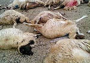 تلف شدن 115 رأس گوسفند در نیریز