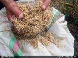 75 تن بذر گواهی شده برنج در جویبار توزیع شد
