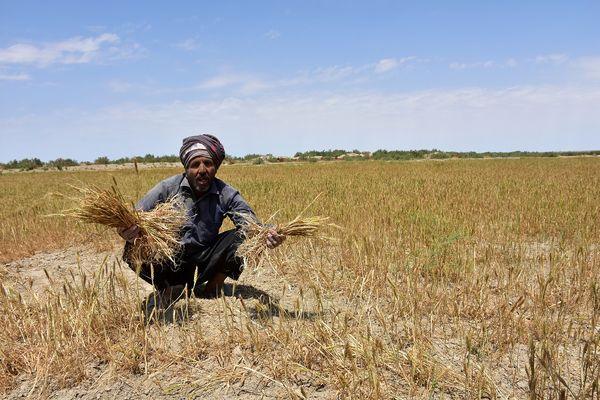 گندمکاران استان اطلاعات خود را در سامانه پهنه بندی  ثبت کنند