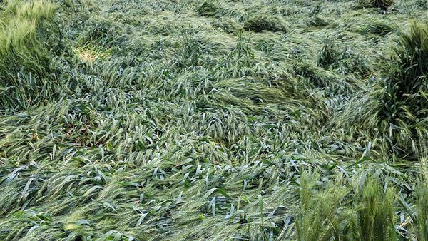 سرمای بهاره به بخش کشاورزی مرودشت خسارت وارد کرد