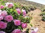 آغاز خرید توافقی گل محمدی در اصفهان