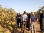 سالانه 4 هزار تن محصول پسته در باغات بوئین زهرا تولید می شود
