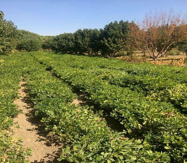 کشت بادام زمینی علاوه بر در آمدزایی به حاصلخیز شدن خاک کمک میکند