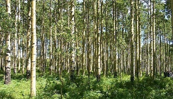 طرح تنفس جنگل ها، فرصتی برای توسعه زراعت چوب در خراسان شمالی