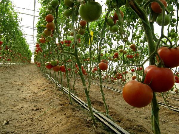 47هزارتن محصولات گلخانهای درسیستان وبلوچستان برداشت شد