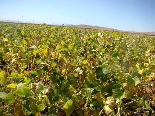 پیشبینی برداشت 17 هزارتن لوبیا از مزارع چهارمحال و بختیاری