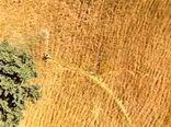 550هکتار از اراضی زراعی شهرستان خانمیرزا علیه آفت ملخ سمپاشی شد