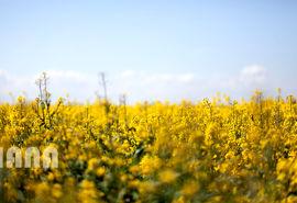 استان ایلام در تولید کلزا رتبه چهارم کشور را دارد