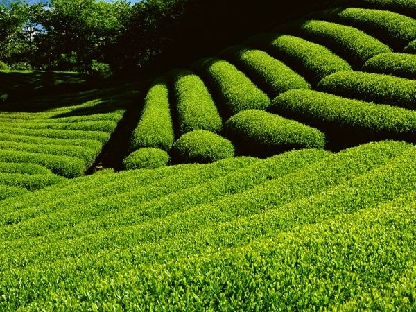 رییس سازمان چای از خوشه صنعتی چای می گوید