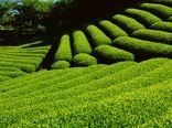 احیای ۳۵۰ هکتار از اراضی باغات چای در سال 99