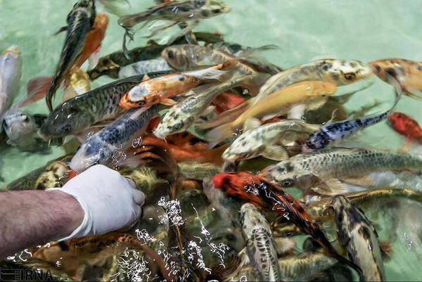 جهش ۲۵ درصدی تولید ماهی آکواریومی در اصفهان