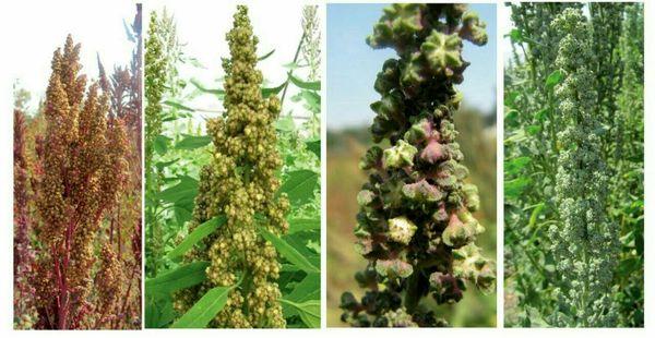 کاشت گیاه کینوا در مزارع کشاورزی شهرستان بویین زهرا