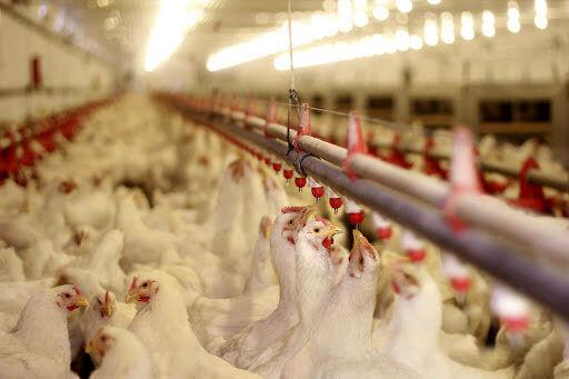 نهادهها تامین نشود، مرغ گرانتر میشود