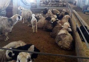 بهرهبرداری از یک واحد پرواربندی گوسفند در شهرستان کوهرنگ