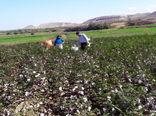 تولید 4 هزار تن وش پنبه در شهرستان خداآفرین از توابع استان آذربایجان شرقی